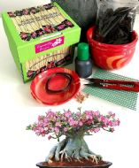 Premium Adenium Obesum Bonsai Growing Kit - Includes ceramic pot&tray